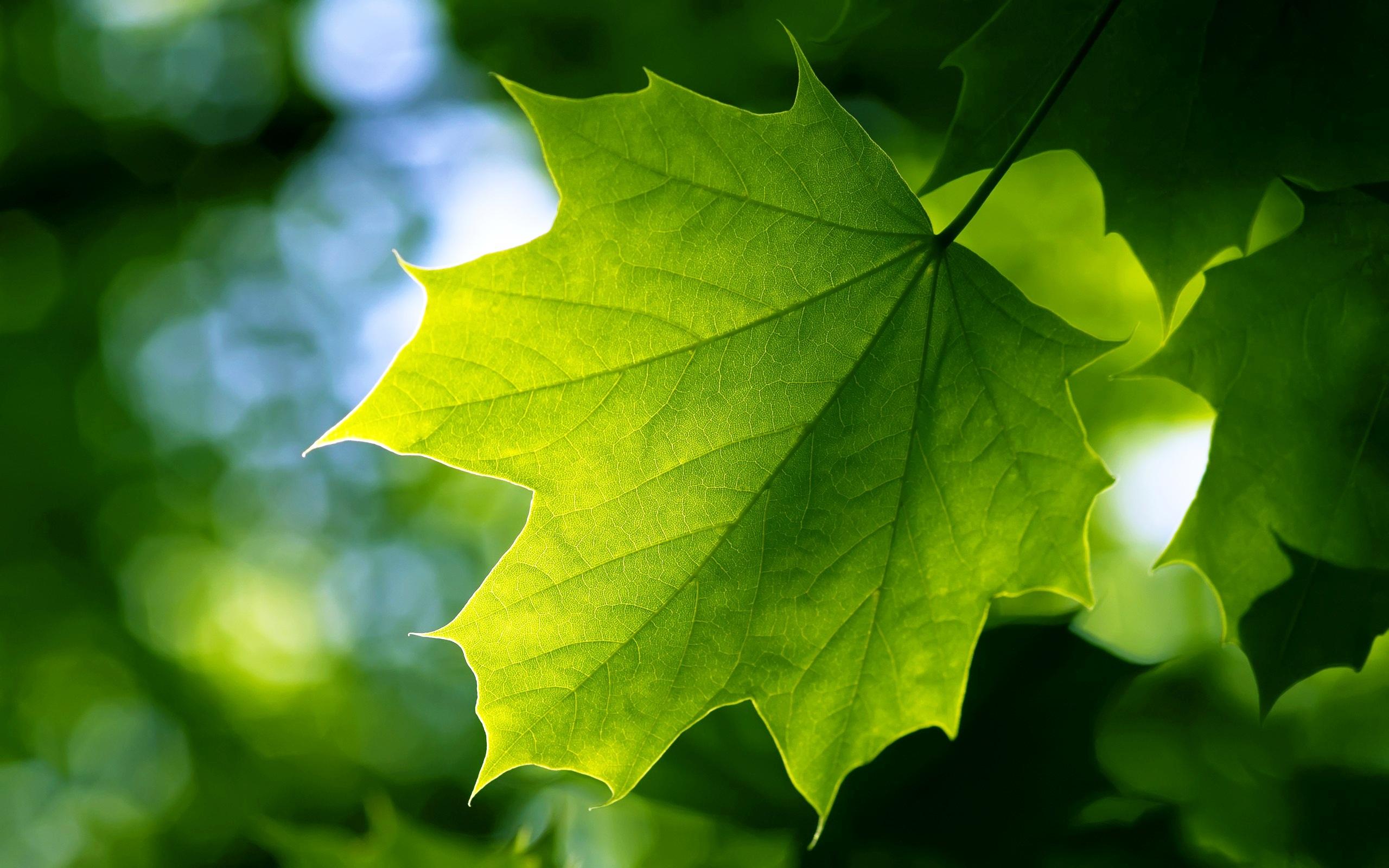 leaf-wallpaper-6
